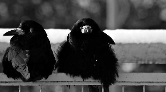 2 Freunde: Krähen <br/>Foto von onkel_wart