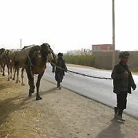 Kamele bei Kunduz <br/>Foto von Spangleddrongo